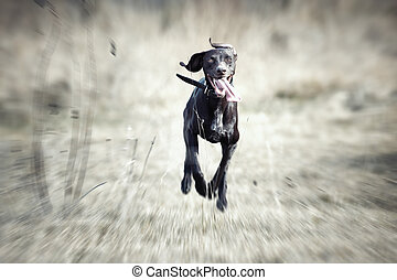 Happy running dog - Happy German short haired pointer...
