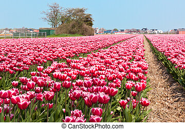 Multicolored tulip field in Holland. Horizontal shot