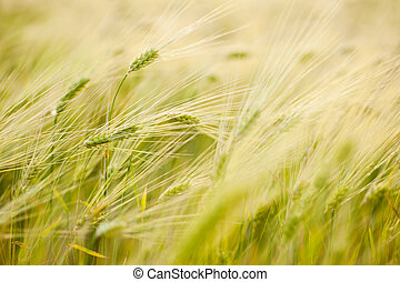 barley field - spikes in the wind