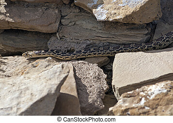 Corn Snake seen in Chaco Culture, New Mexico