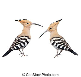 Eurasian Hoopoe isolated on white - Set Eurasian Hoopoe...