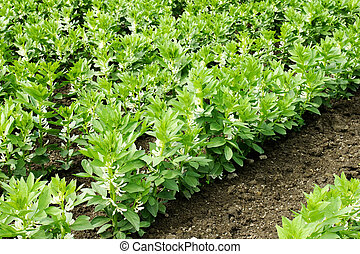 Growing broad or fava beans - Beautiful green leaves of a...