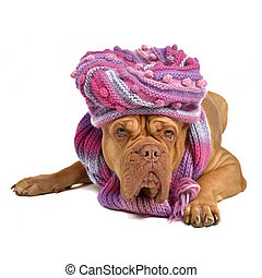 Big dog wearing hat and scarf