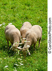 Alpine Meadows - Sheep Grazing in the Alpine Meadows of...