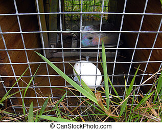Possum hunting trap with egg - Cage with egg set for...