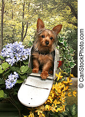 Yorkie in a Mailbox - A yorkshire terrier sits in an open...