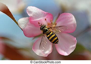 蜜蜂, crabapple, 花