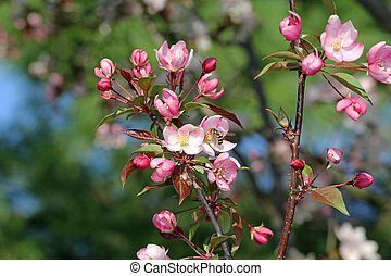 Bee on a Crabapple Blossom - Bee gathering pollen from a...