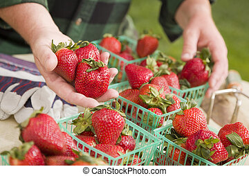 Farmer Gathering Fresh Strawberries in Baskets