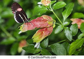 Postman Butterfly and Flower - Postman Butterfly on red...