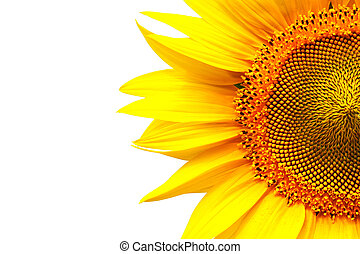 bright sunflower isolated on white with copy-space