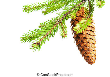 branch of fir with cone
