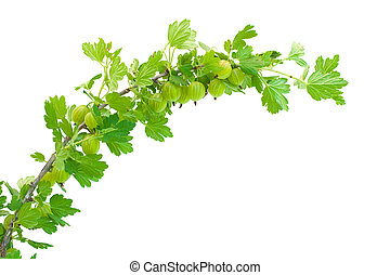 gooseberry branch isolated on white