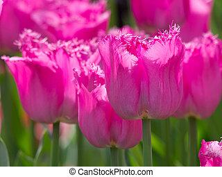 fringed pink tulips