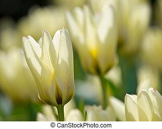 Back lit white tulips in the Keukenhof, Netherlands