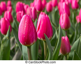 A group of pink tulips