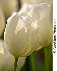 back lit white tulip - A close up of a back lit white tulip...