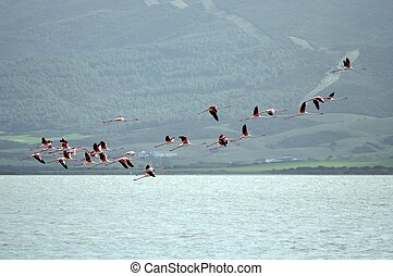 Flamingos flight