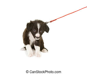Puppy pulling leash - Border collie puppy first time on a...
