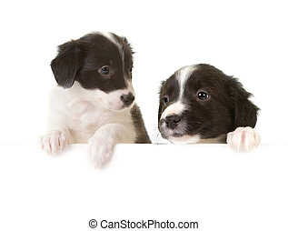 Border collie puppies with a card