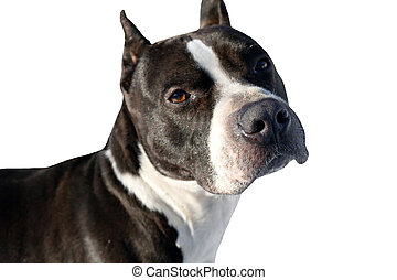 Dog pit bull terrier isolated