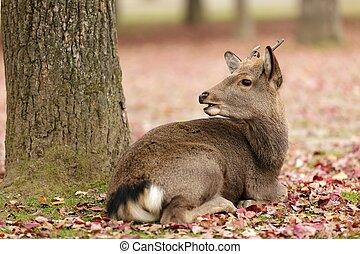 cute deer lying near tree in autumn season, Nara park,...