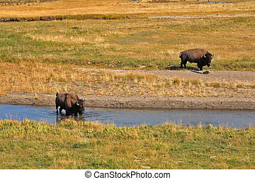 Bisons go on a watering place in Yellowstone national park