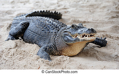 Alligator closeup on sand in Gator Park in Miami, Florida