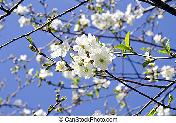 blossoms on cherry-tree branches and sky