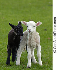 Black and White - Two very cute Lambs playing together in a...