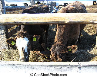 Two cows eat