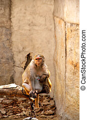 Macaque monkey eating bean