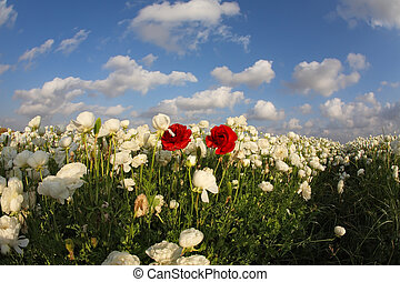 The magnificent spring field of blossoming white and red  flowers photographed by a lens the Fish eye