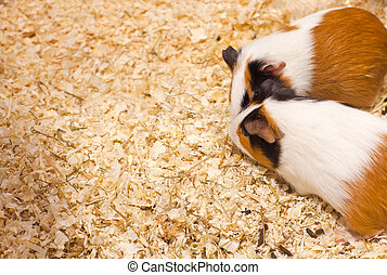 Hamsters - Photo of nice hamsters in the sawdust