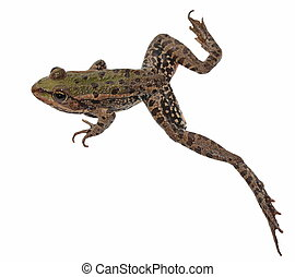 Marsh Frog isolated on white background, Pelophylax...