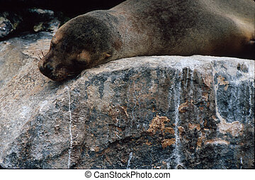 Galapagos sea lion - GALAPAGOS SEA LION (Zalophus...