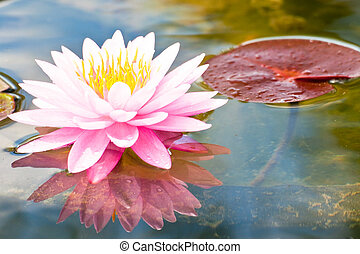 lotus flower of Thailand
