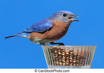 Male Eastern Bluebird Sialia sialis on a mealworm feeder and...