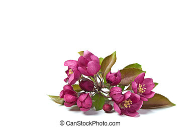 Pink Crabapple Blossoms - Pink crabapple blossoms isolated...