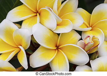 Branch of tropical flowers frangipani plumeria, Thailand