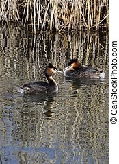 Couple of great crested grebes  and reeds reflecting on water