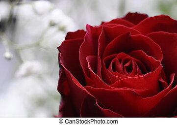 cierre, vista, rojo, rosa, su, Pétalos