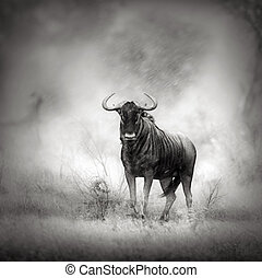 Blue Wildebeest in rainstorm - Blue Wildebeest in Rainstorm...