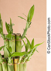 Lucky Bamboo Plant on a brown background