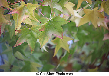 deciduous leaves - liquidambar leaves changing color in...