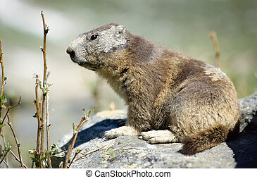 Close up of a marmot on rock - Close up of a young marmot on...