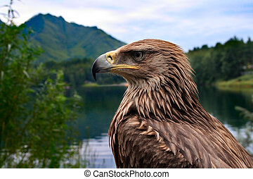 Eagle - bird eagle on a background of mountains and forests