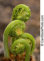 Ferns Emerging in Spring 2 - Green Ostrich fern fronds...