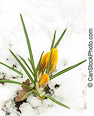 Spring flowers,yellow crocuses against snow
