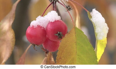 Crab Apples and Snow - Crab Apples with autumn snow in the...